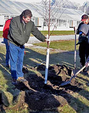 A birch tree is planted using proper tree-planting techniques.